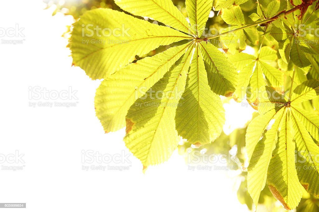Yellow leaves of chestnut stock photo