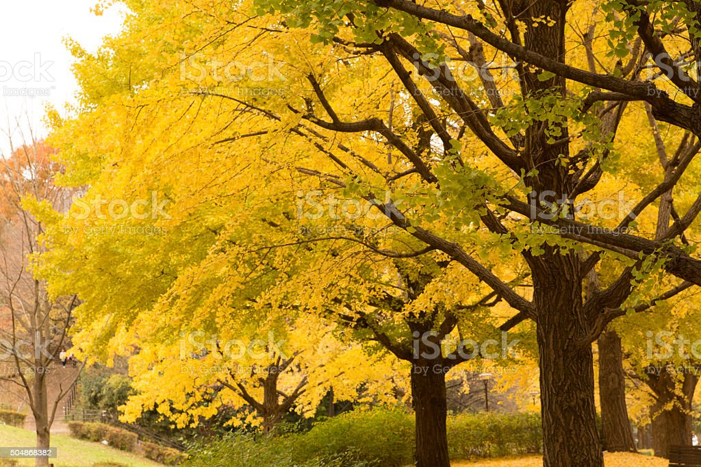 Yellow leaves of ginkgo at japan stock photo