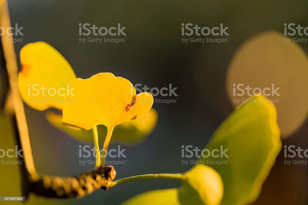 Yellow leaves of ginkgo stock photo