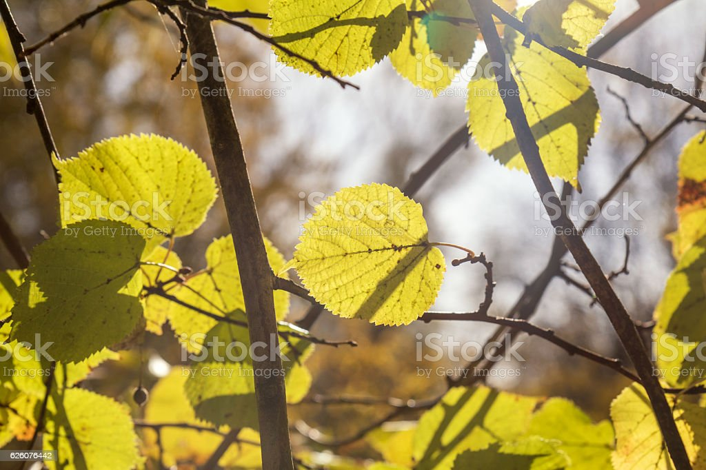 Yellow leaves of linden against the sky stock photo