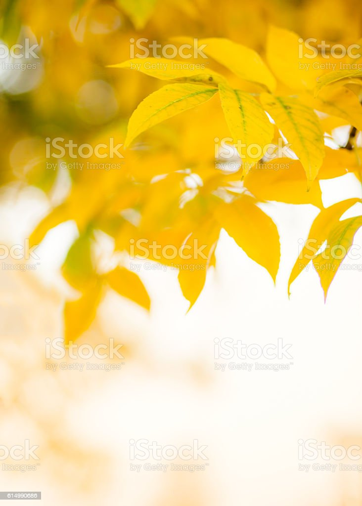yellow leaves on branches of ash stock photo