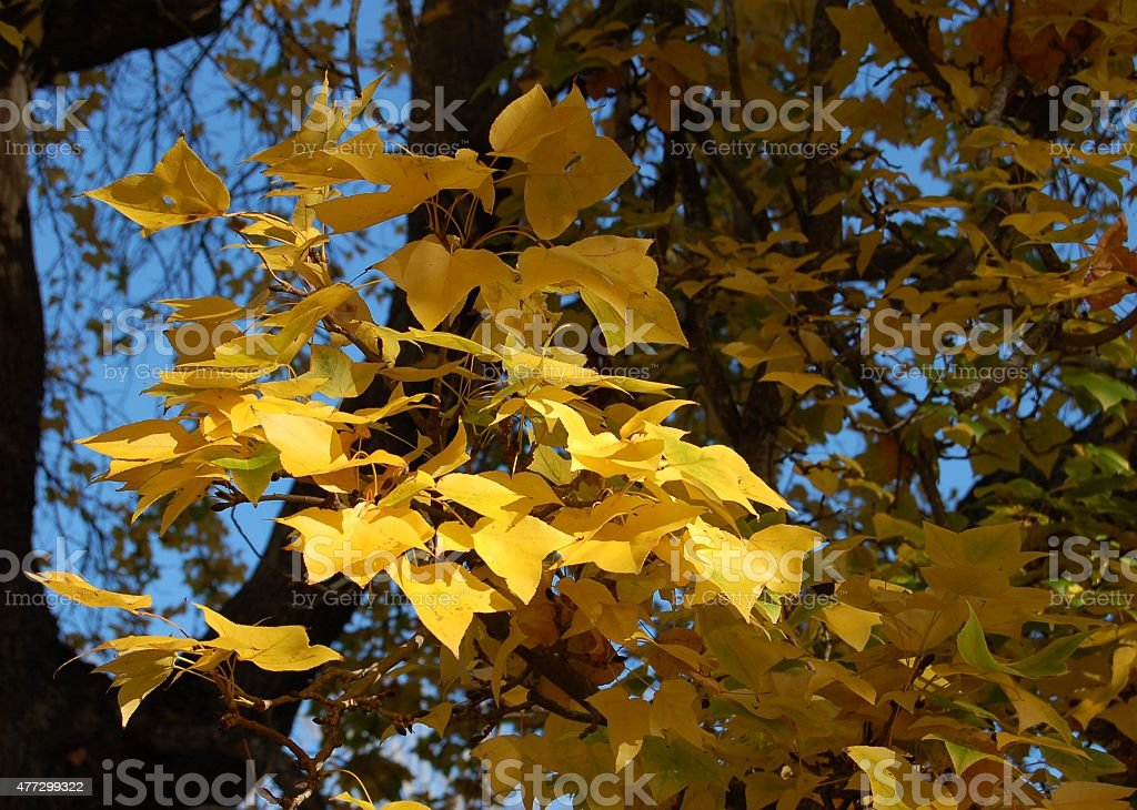 Żółte liście zbiór zdjęć royalty-free
