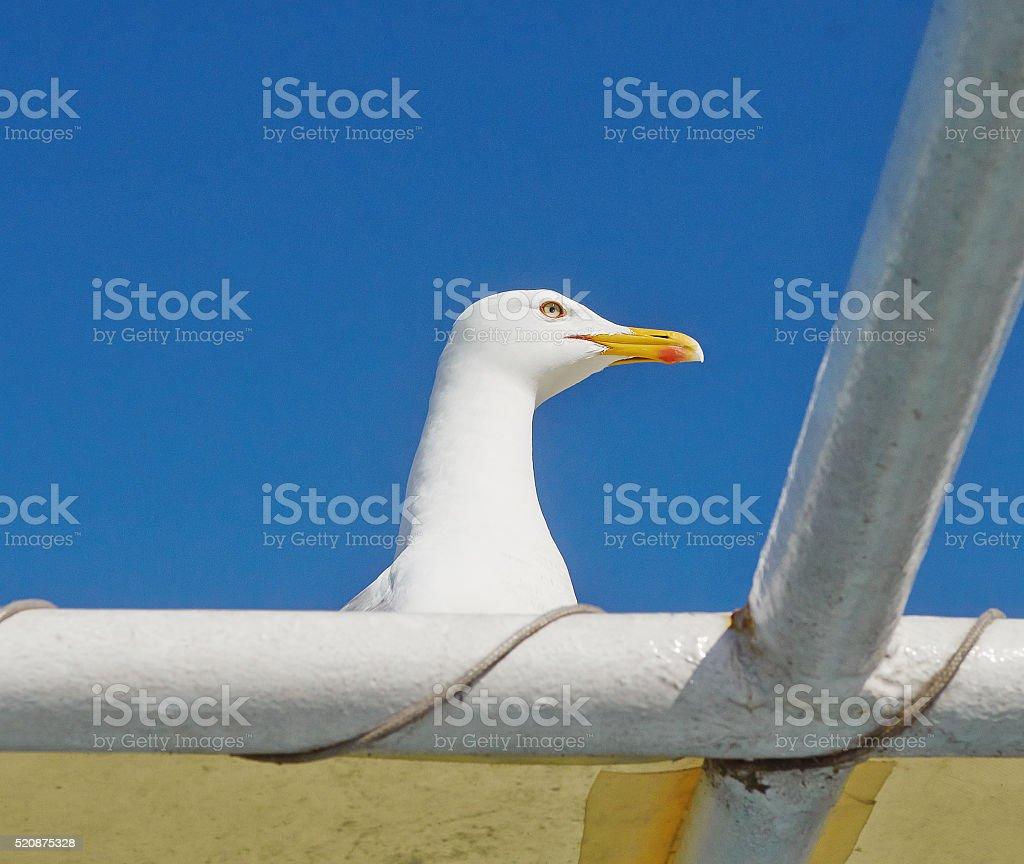 Yellow legged gull (Larus michahellis) close up stock photo