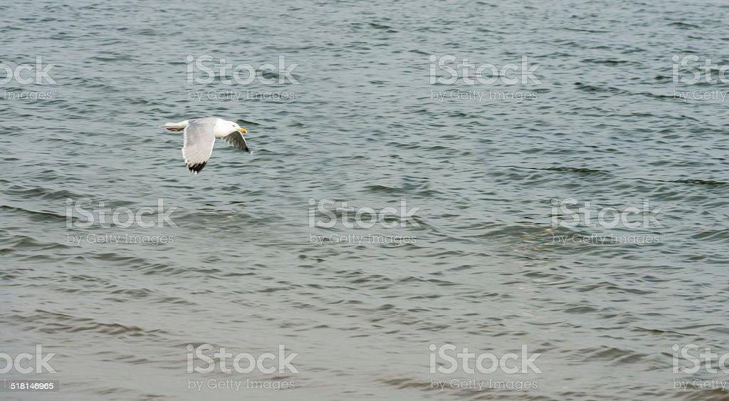 Yellow legged Gull flying over the sea stock photo