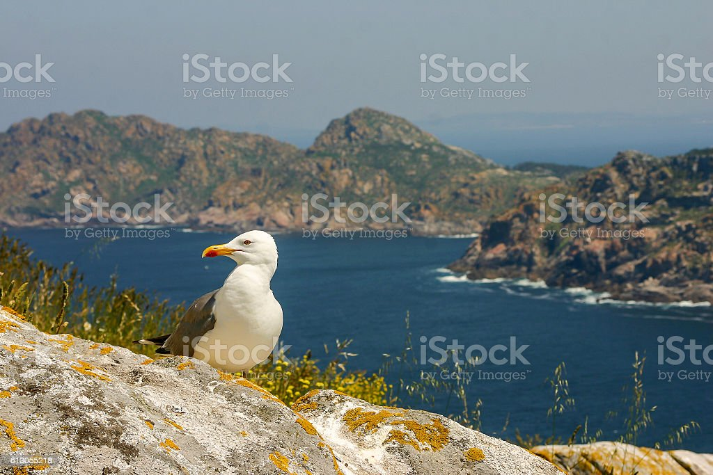 Yellow legged gull stock photo