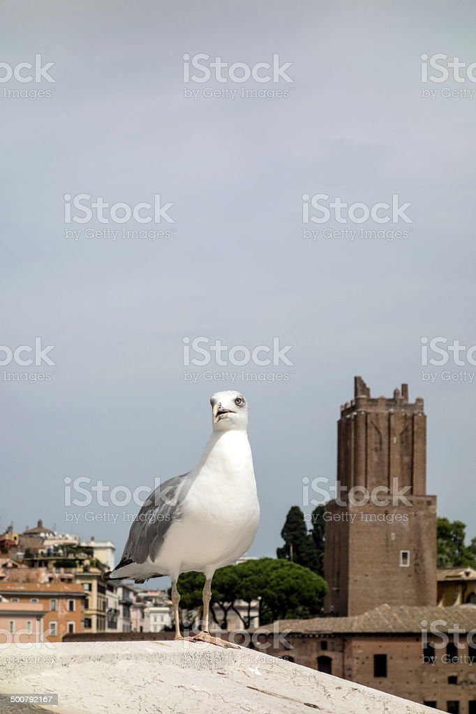 yellow legged-gull stock photo