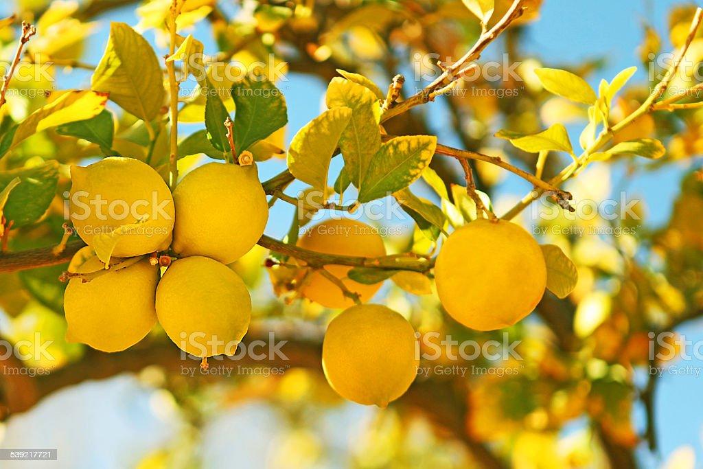Yellow Lemons Hanging on a Lemon Tree Against Blue Sky stock photo