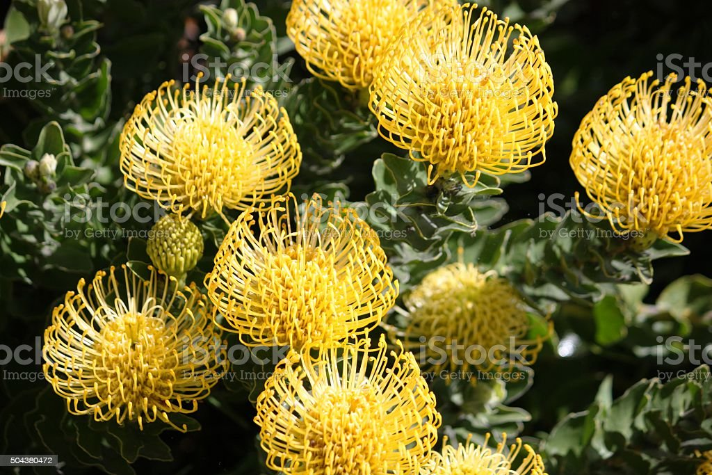 Yellow Leucospermum cordifolium flowers in California, USA stock photo