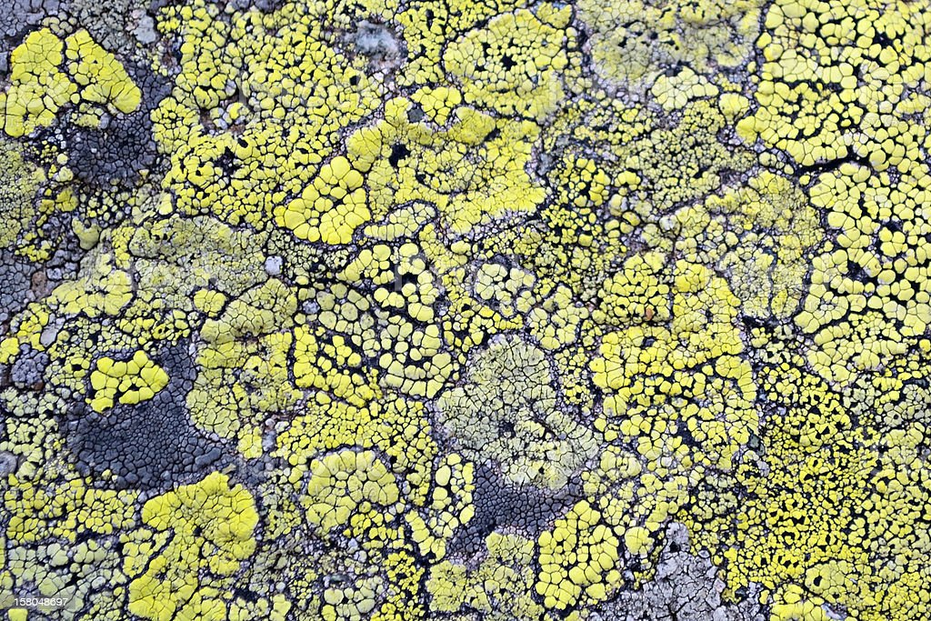 Yellow lichen means no air pollution royalty-free stock photo