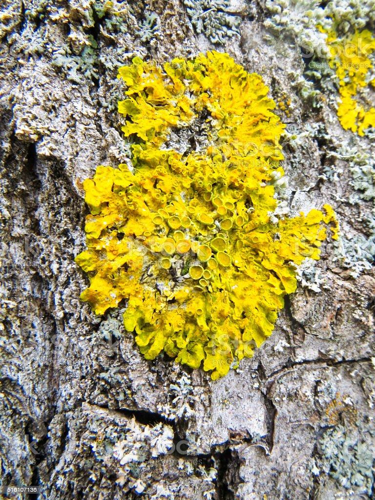 yellow lichen on a tree stock photo