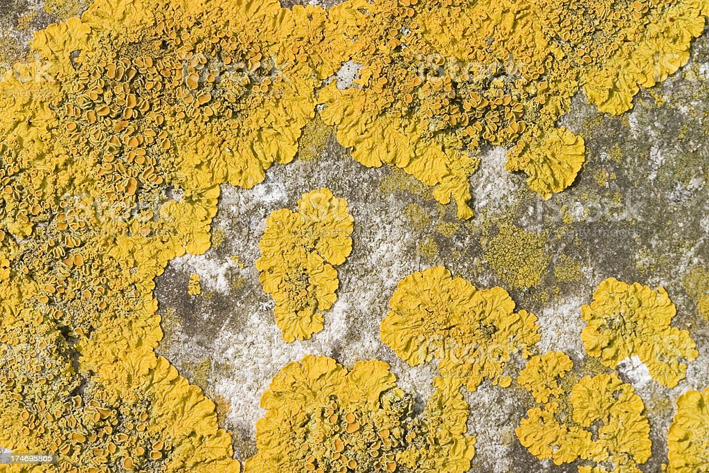 Yellow Lichen on Limestone Background royalty-free stock photo