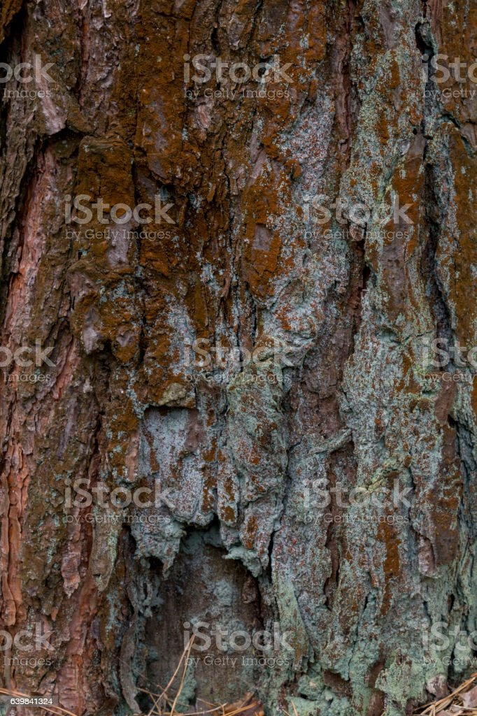 Yellow lichen on tree bark destroys the forest. stock photo