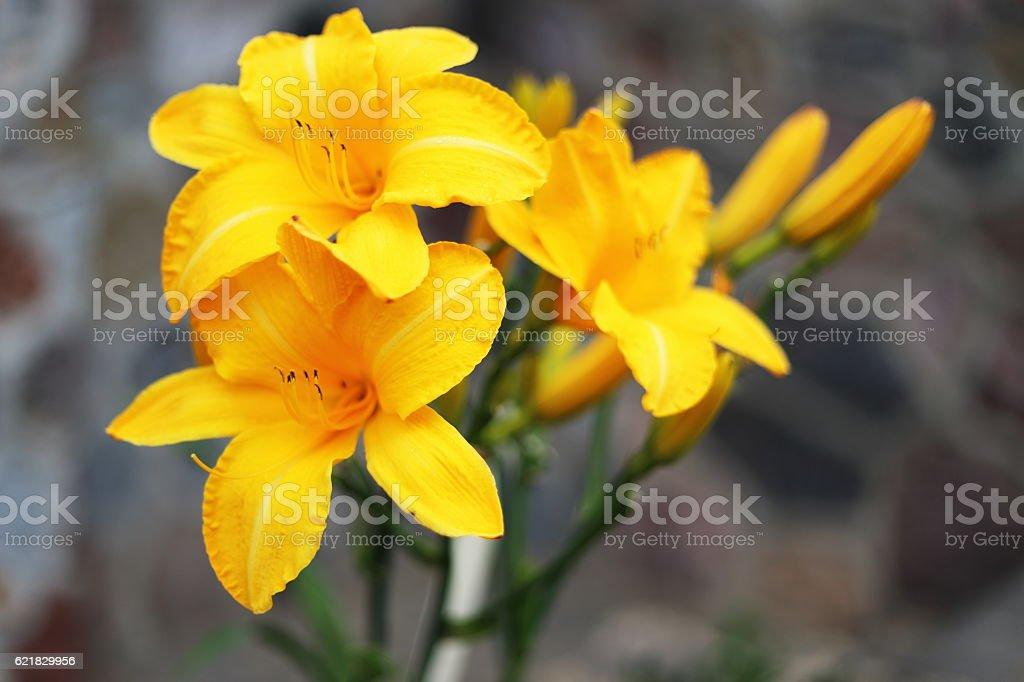 Żółty Liliowate w ogrodzie royalty-free stock photo