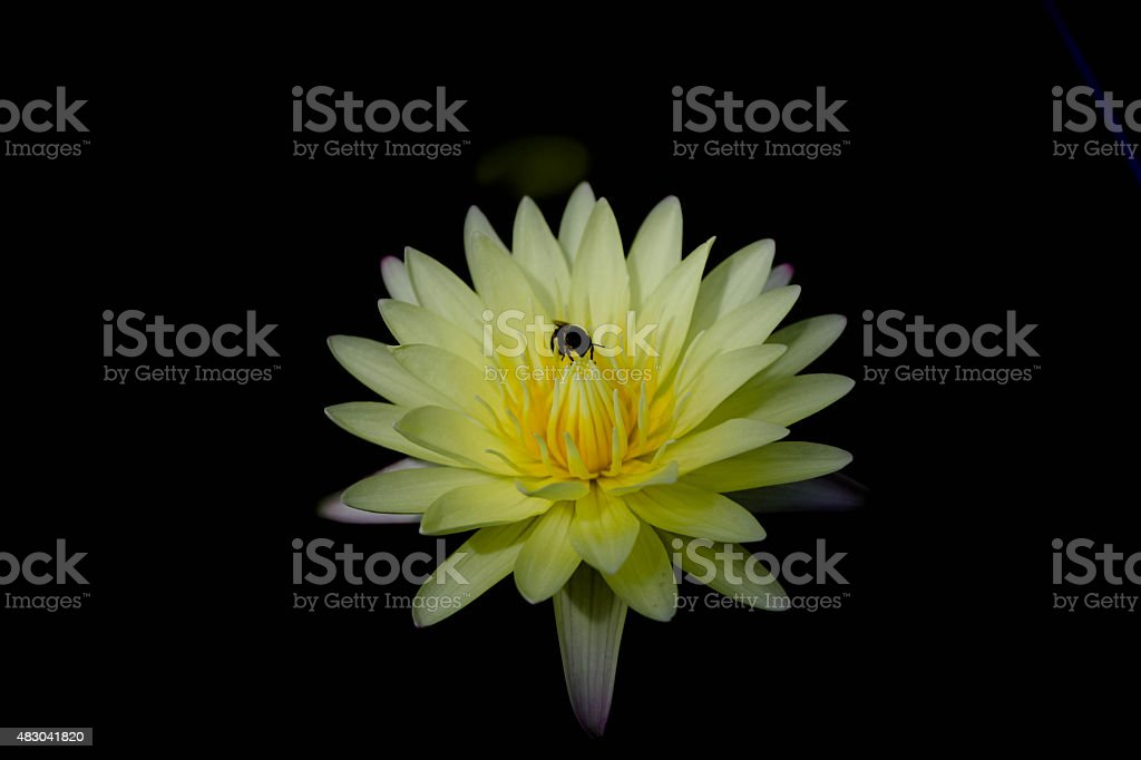 Yellow lilies stock photo
