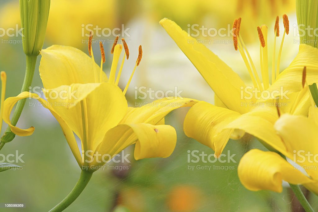 Yellow lilly stock photo