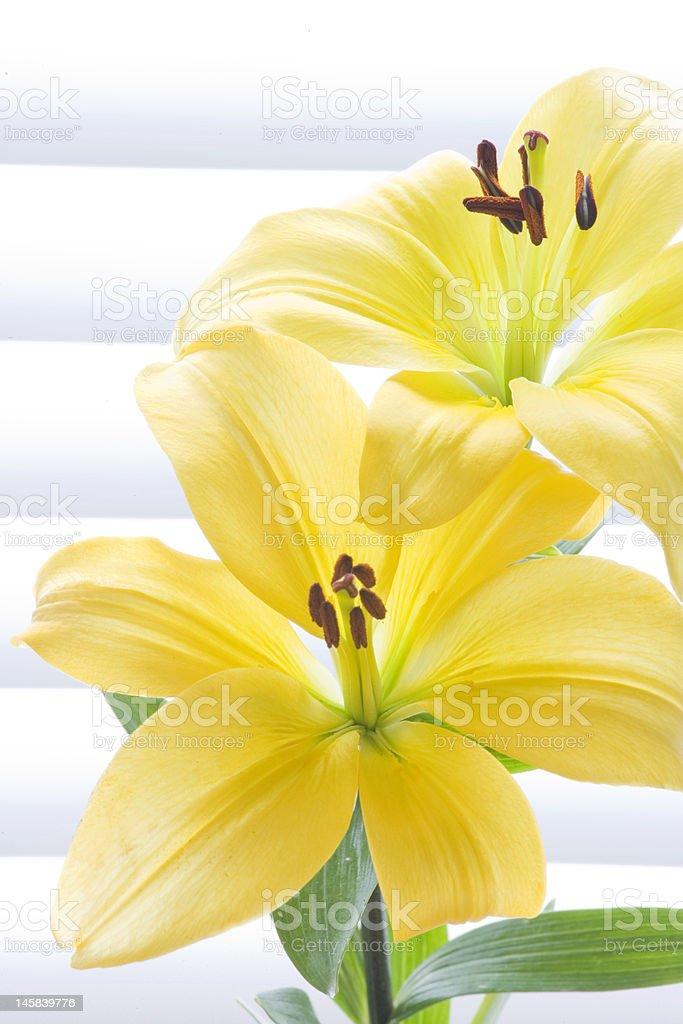Lirio amarillo contra fondo de polietileno blanco foto de stock libre de derechos