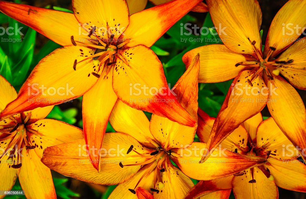 Yellow Lily Background stock photo