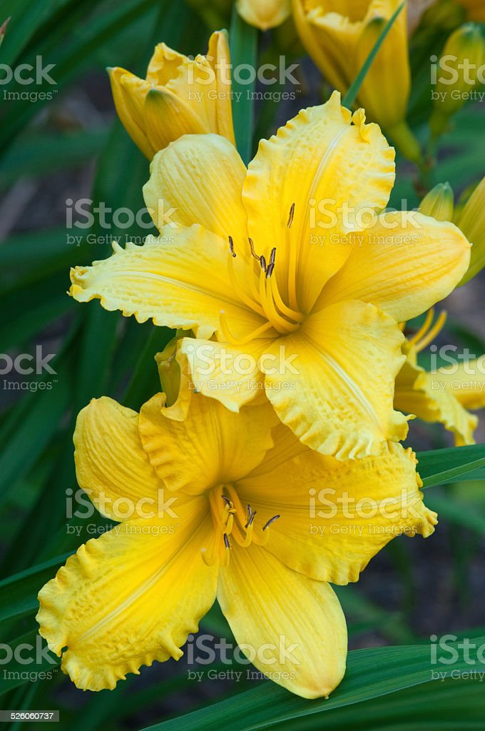 Yellow Lily Flowers stock photo