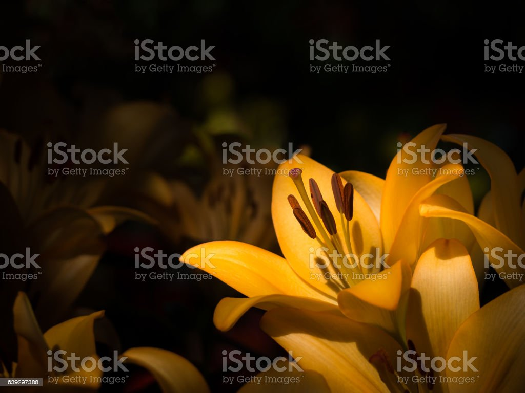Yellow lily in low key tone stock photo