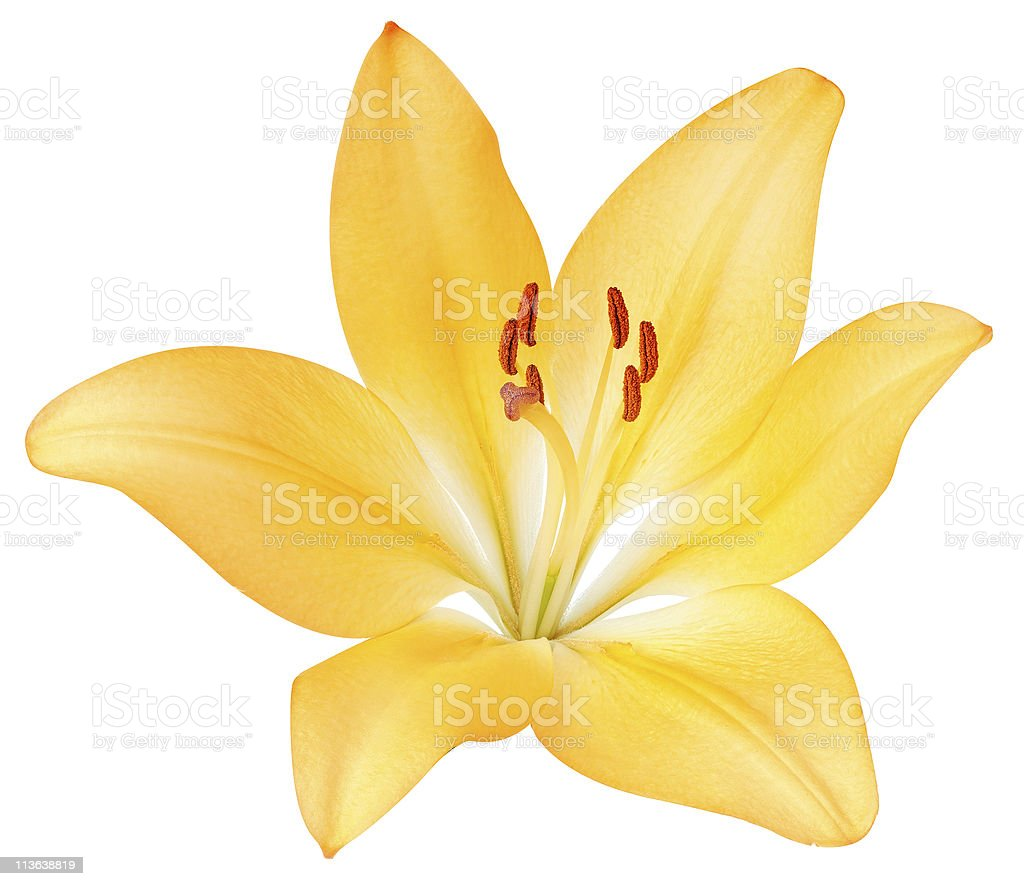 Yellow lily stock photo