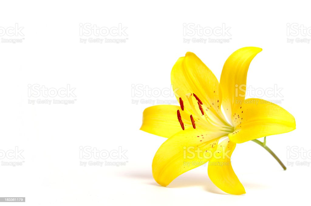 Yellow lily royalty-free stock photo