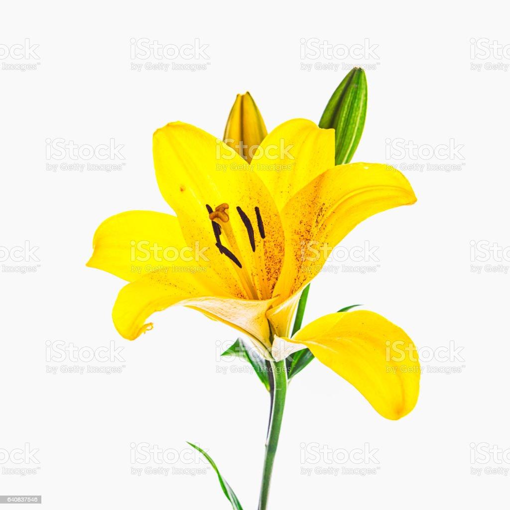 Yellow Lily stock photo