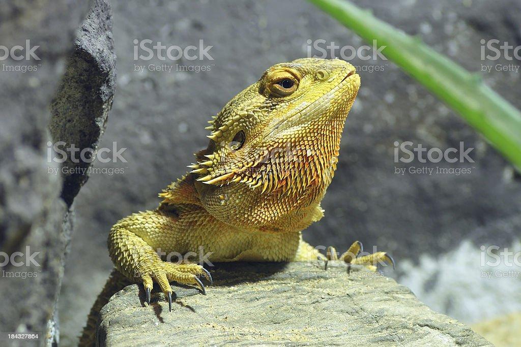 Yellow Lizard or Bearded Dragons stock photo