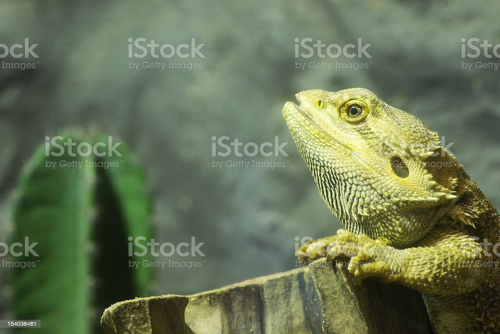 Yellow Lizard royalty-free stock photo