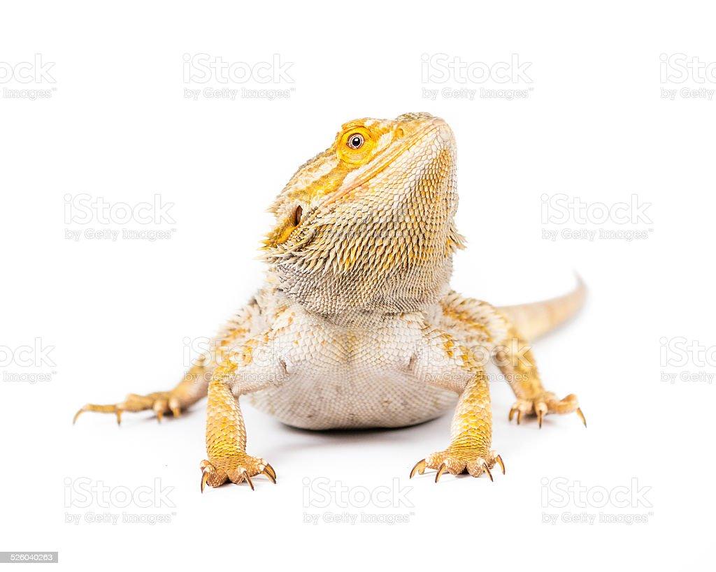 Yellow Lizard stock photo