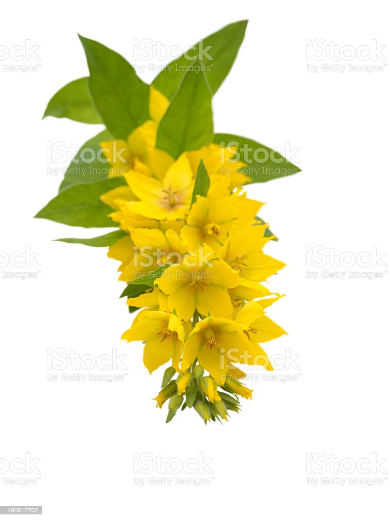 Yellow Loosestrife isolated on white stock photo