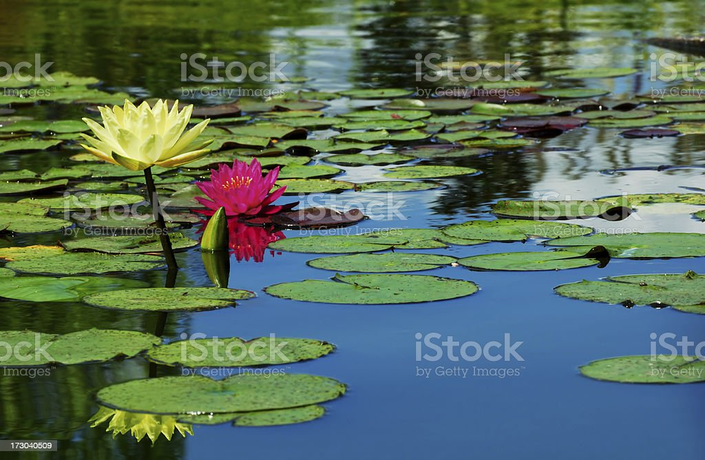 Yellow Lotus And Pink Waterlily royalty-free stock photo