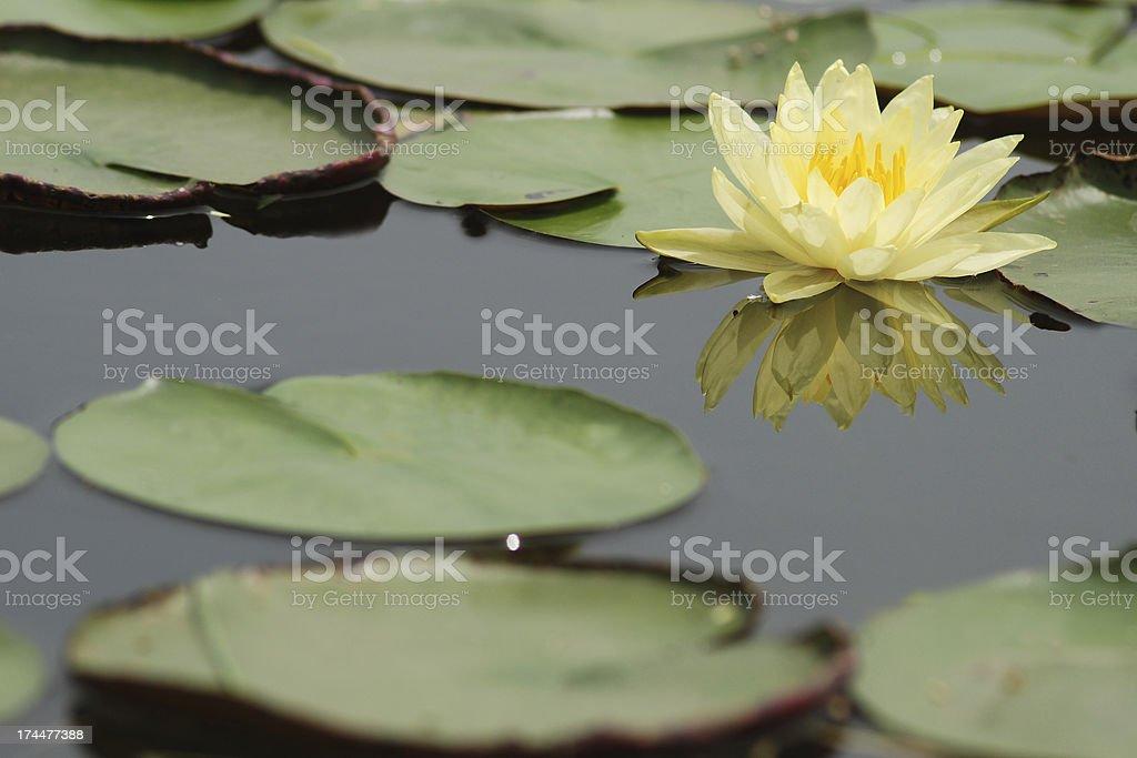 Yellow Lotus and reflect royalty-free stock photo
