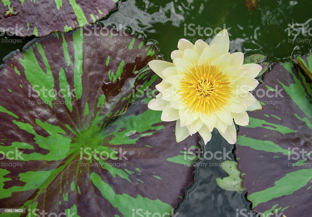 Yellow lotus blooming in the pond. stock photo