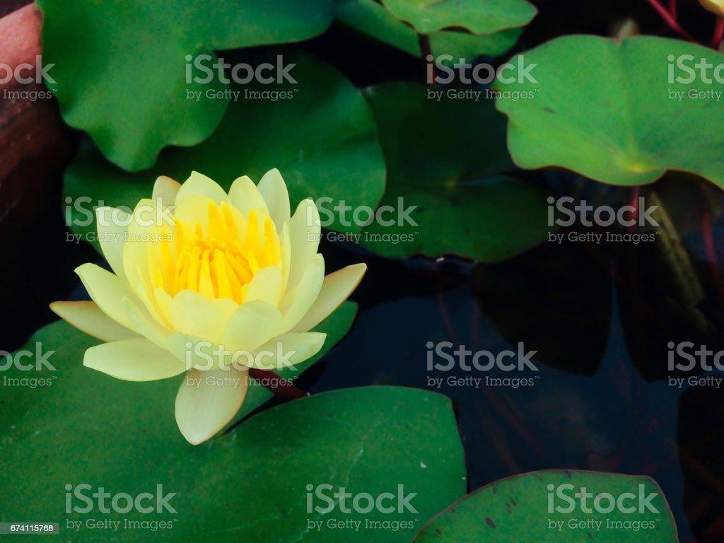 Yellow Lotus Flower Stock Photo 674115768 Istock