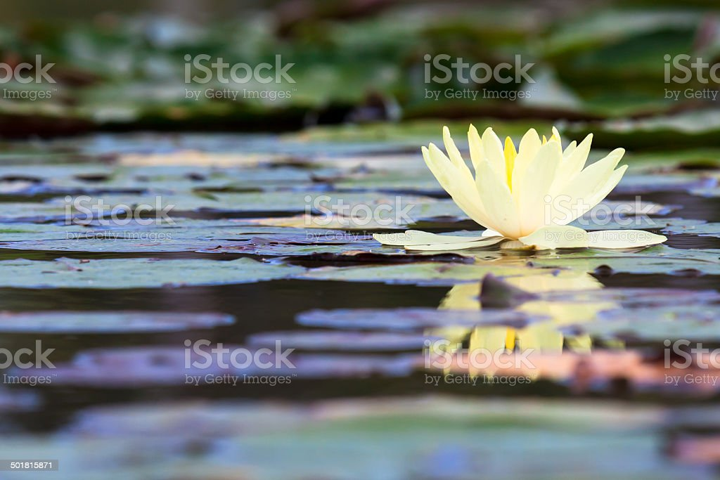 yellow lotus or water lily in pond stock photo