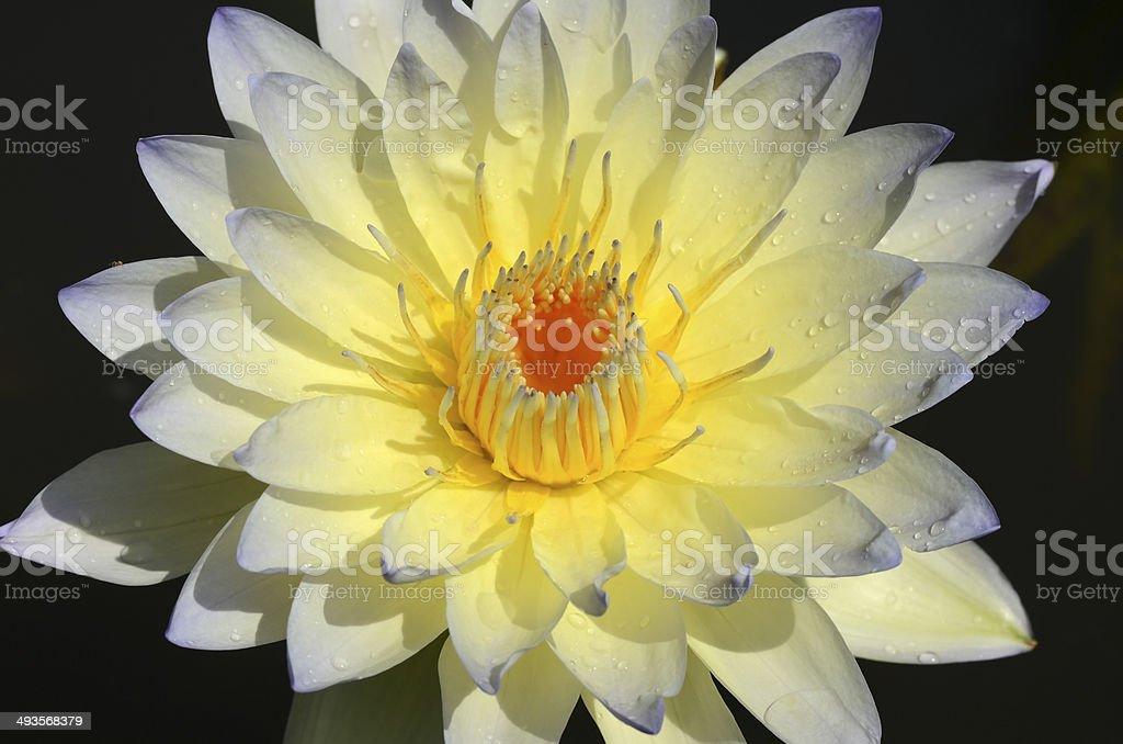 Yellow Lotus. royalty-free stock photo