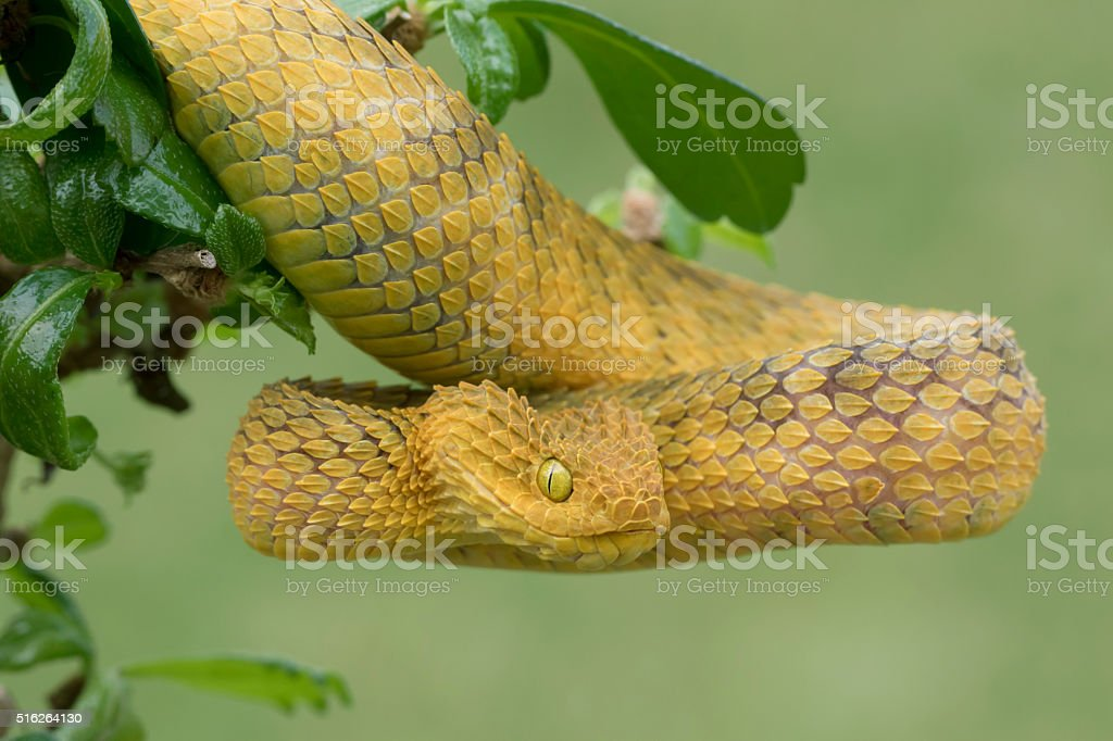 Yellow Male Bush Viper in Striking Position stock photo