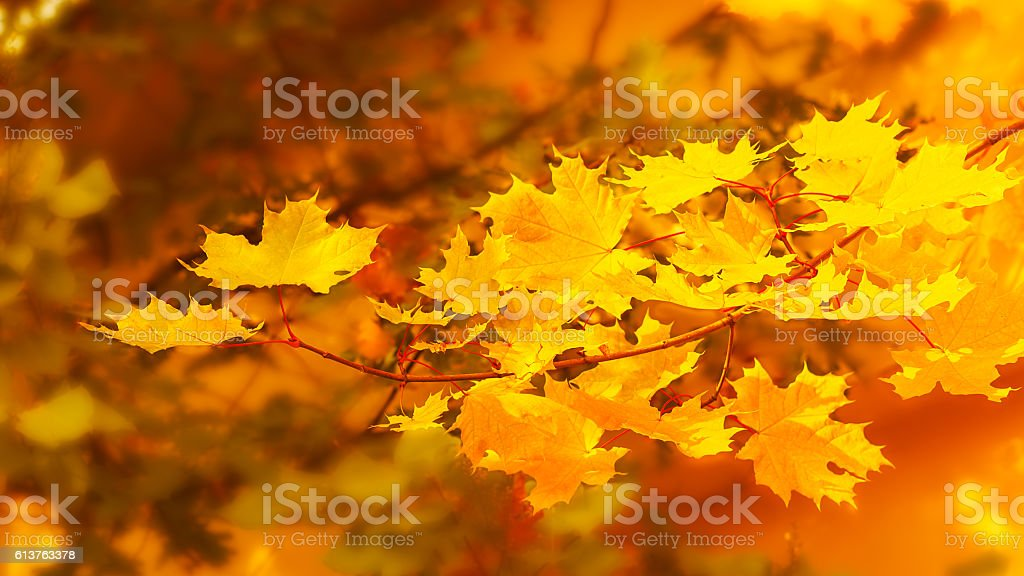 Yellow maple branch on fall background stock photo