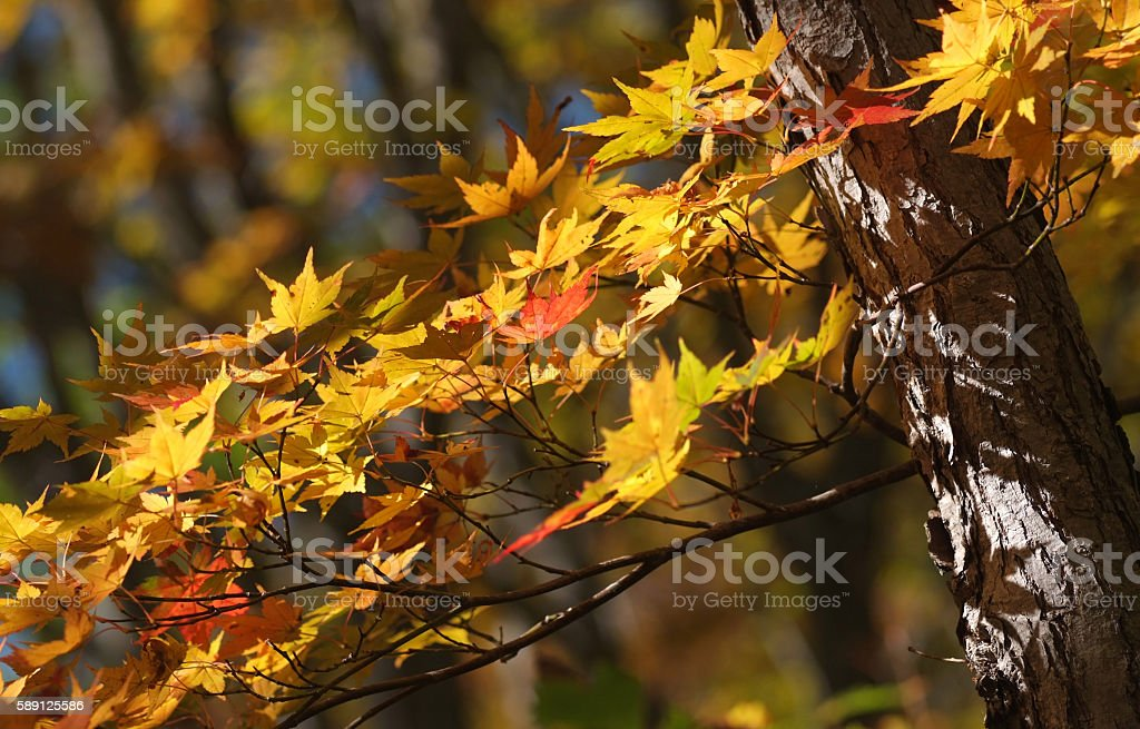 Yellow maple foliage stock photo