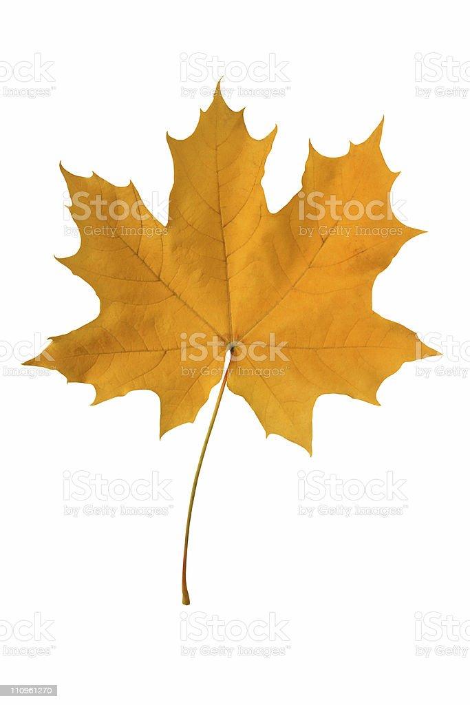 Yellow maple leaf. royalty-free stock photo