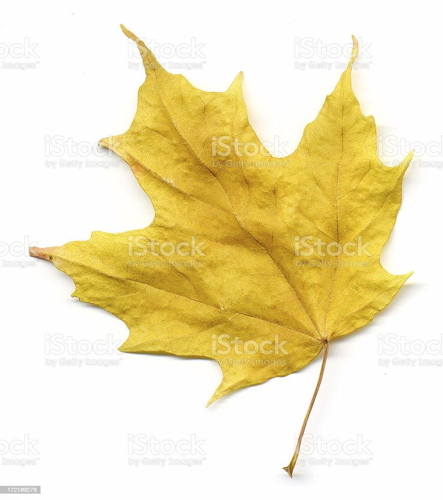 Yellow Maple Leaf royalty-free stock photo