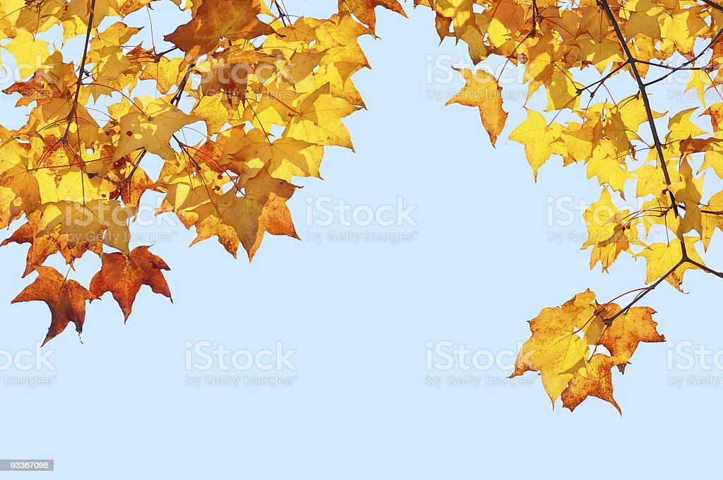 yellow maple leafs on the blue sky stock photo