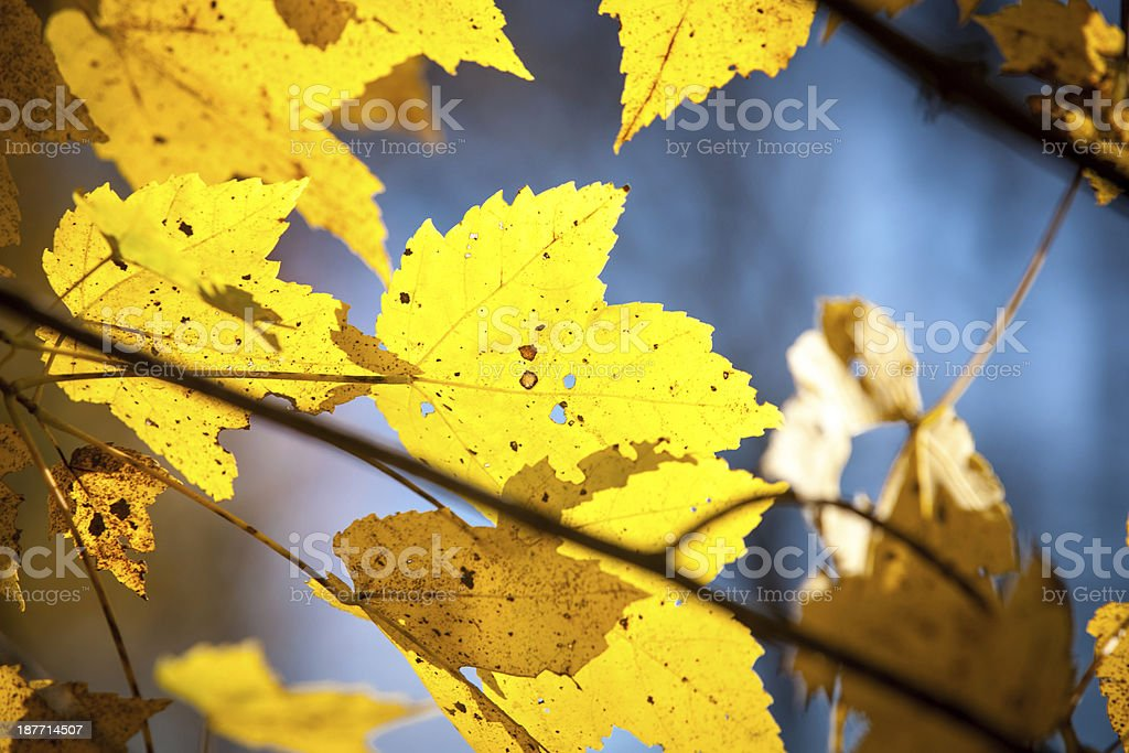 Yellow Maple Leaves Closeup stock photo