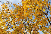 Yellow maple leaves on natural background in autumn forest