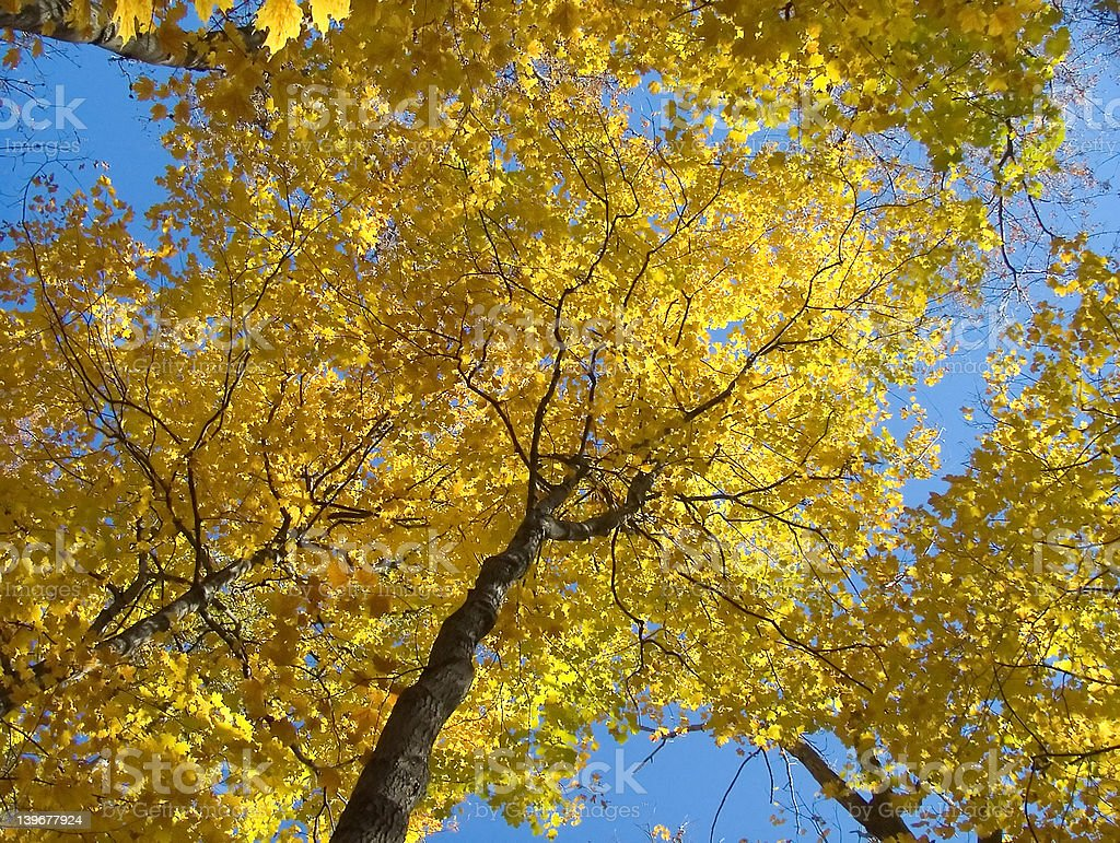 Yellow Maple royalty-free stock photo