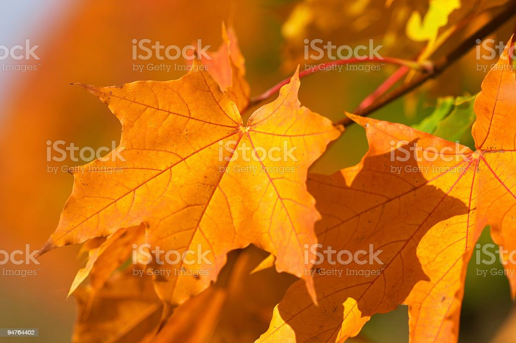 yellow maplle leaves royalty-free stock photo