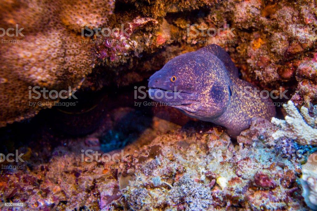 Yellow Margin Moray Eel stock photo