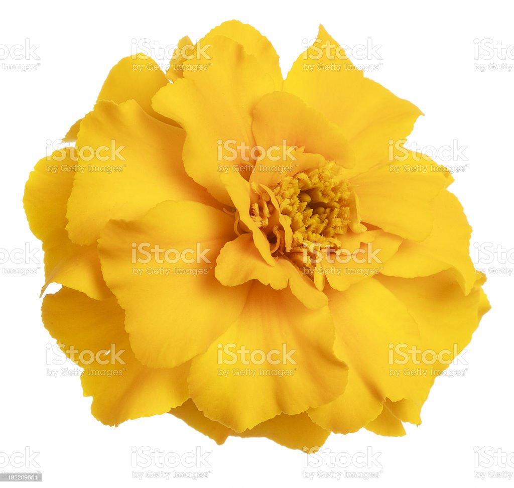 Yellow marigold flower isolated on white royalty-free stock photo