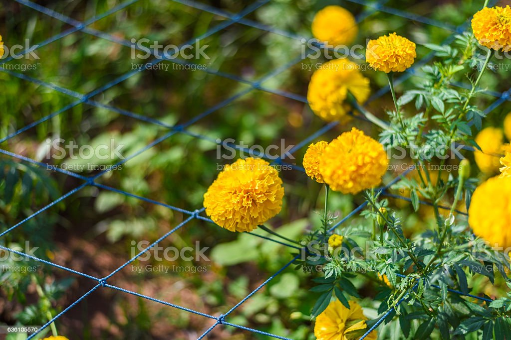 Yellow Marigold Flower stock photo