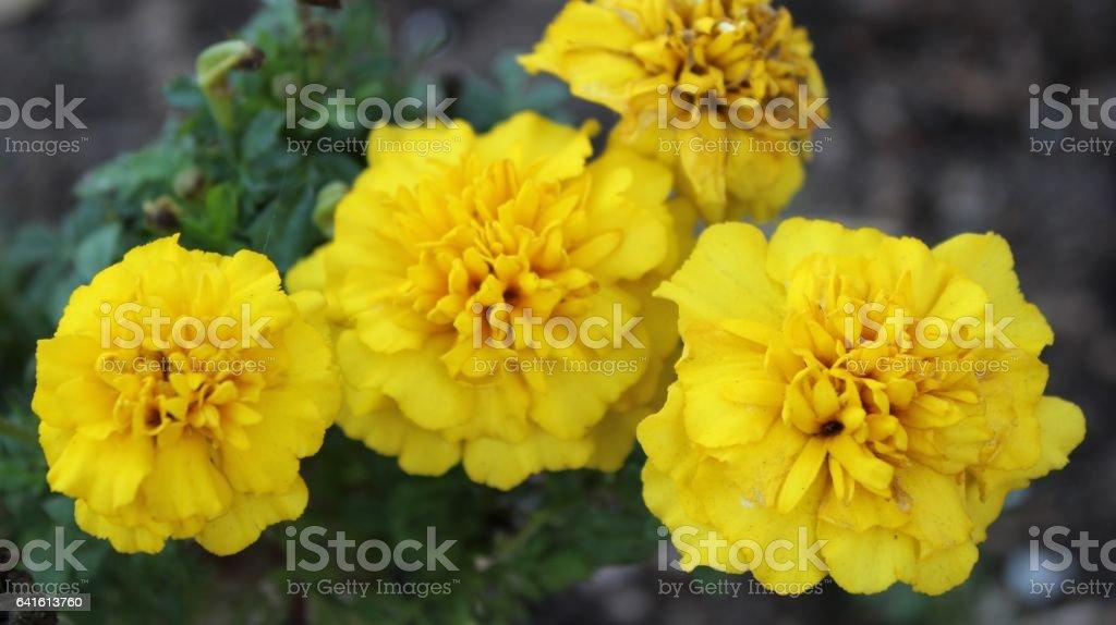 Yellow marigold flowers stock photo